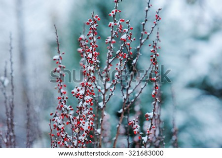 frosty barberry branches in snowy winter garden - stock photo