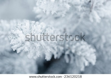 frosty fir twigs in winter covered with rime, closeup photo - stock photo
