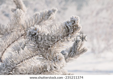 Frosty fir twigs in winter covered with snow, closeup photo - stock photo