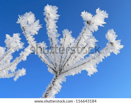 frosty florescence of a withered umbel, against blue sky