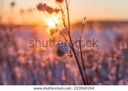 Frosty grass at winter sunset covered in snow - stock photo