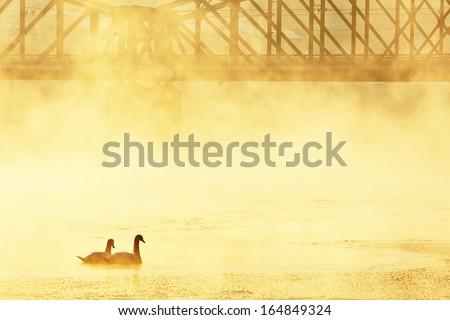 Frosty morning in Prague. Swans on Vltava river in mystery fog. - stock photo
