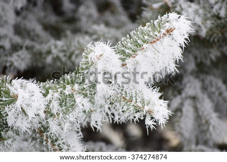 Frosty pine  - stock photo