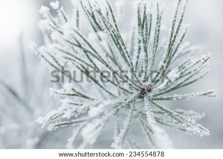 frosty pine twigs in winter covered with rime, closeup photo - stock photo