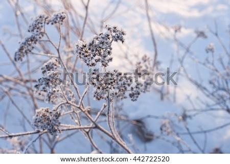 Frosty sunny winter day. Plant cover with small ice crystals. Hoarfrost on branches. Blue background with the grass in frost. Frozen  flowers under snow in the late autumn. Selective focus. - stock photo