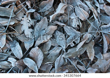 Frosty walnut leaves. Late fall background. - stock photo