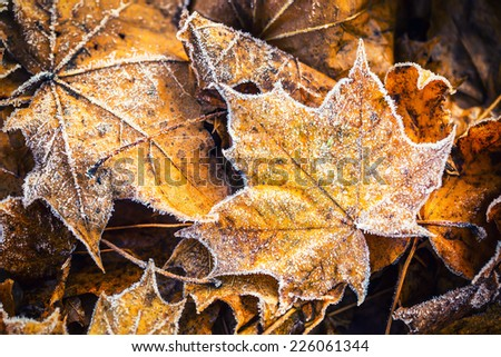 Frozen autumn frost cold morning ice maple leaves - stock photo