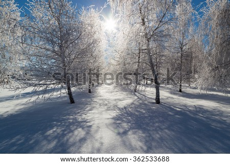 Frozen birch trees in rows with glowing ice branches on a clear sunny day in winter. - stock photo