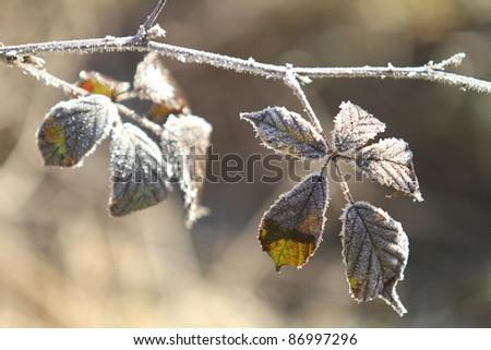 Frozen Blackberry shrub during winter - stock photo