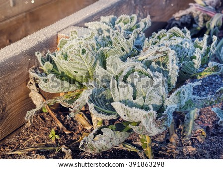 Frozen Cabbages Vegetable Garden Winter. Raised Beds Cold Sunlight - stock photo