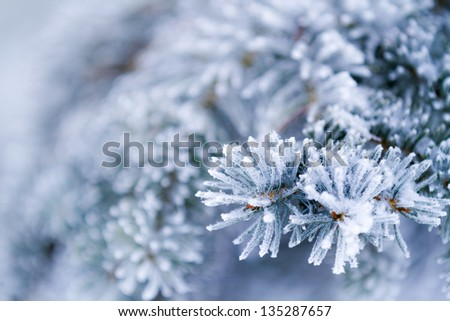 Frozen coniferous branches in white winter