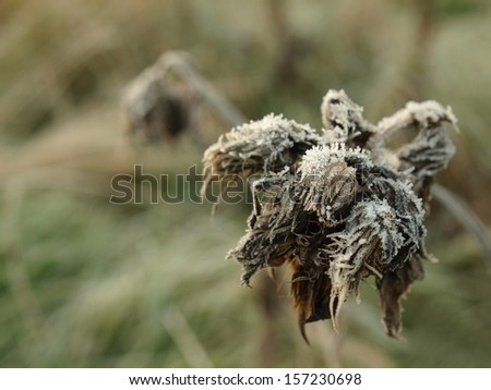 Frozen dry thistle covered by ice, frozen grass in background. - stock photo