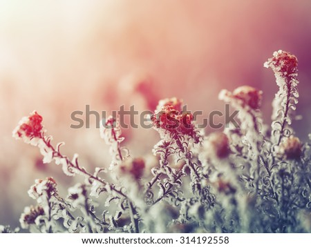 frozen flowers. frost on flowers. Group of flowers at sunset - stock photo