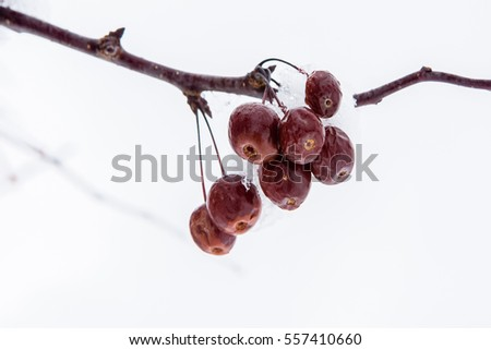 Frozen icy berry hanging on a branch covered with snow and ice