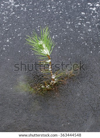 frozen lake has locked a little fir tree in ice (vertical) - stock photo