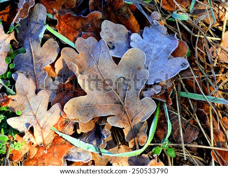 Frozen oak leafs - abstract natural background  - stock photo