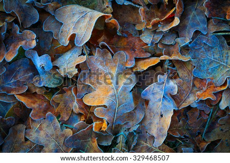 Frozen oak leafs - abstract natural background