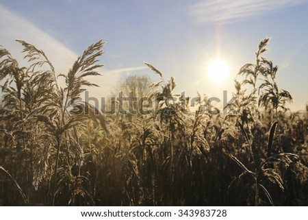 Frozen reeds of grass at sunrise close up. Nature background - stock photo