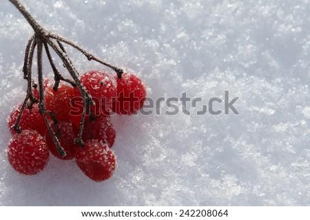 Frozen rowan berries on a snow - stock photo
