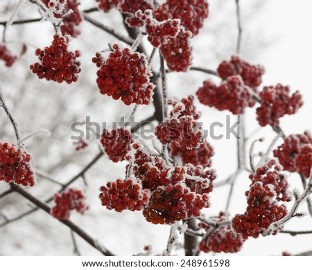 Frozen rowan berry tree covered with snow and ice closeup - stock photo