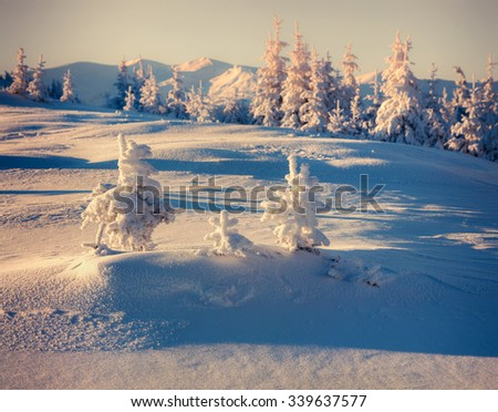 Frozen small fir trees in the winter mountains. Retro style.