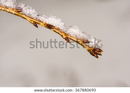 Frozen twig with buds covered with snow