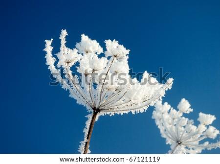 Frozenned flower on background blue sky.Winter landscape - stock photo