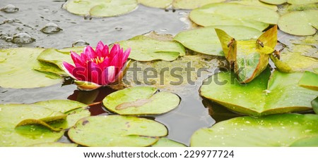Fructiferous Water Lilies in Buchlovice park, Czech Republic - stock photo