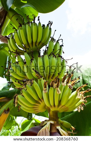 Fruit and Inflorescence of Banana - stock photo