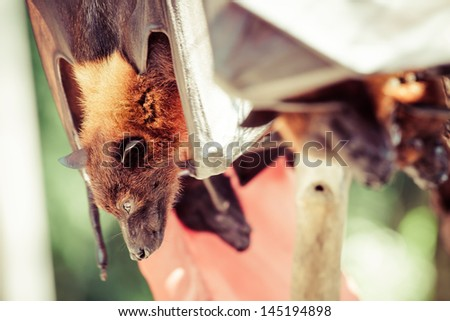 Fruit bat also known as flying fox eating - stock photo