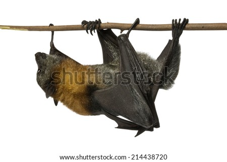 Fruit bat (flying fox) crawling along branch upside down  on white background.