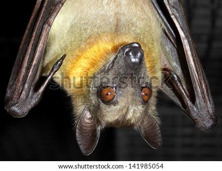 Bat Hanging Upside Down Wings Open Fruit Bat Hanging Upside Down