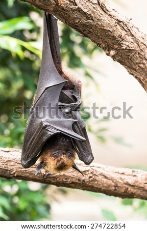 Fruit bat or flying fox sleeping on a tree during the day - stock photo