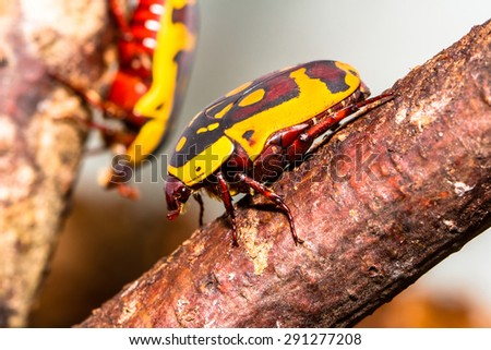 Fruit beetle resting on the branch with another in the backgroun - stock photo