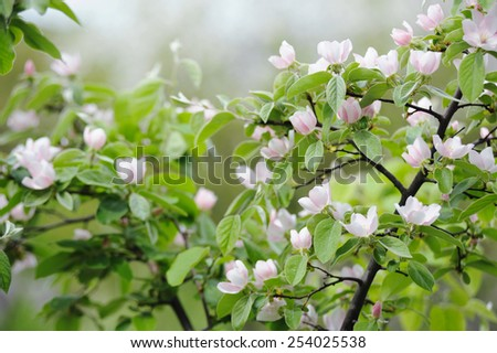 Fruit blossom bunch on natural background in spring - stock photo