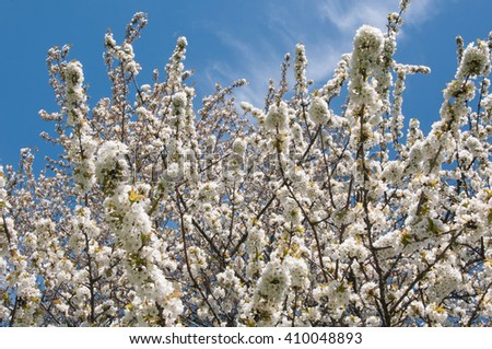 Fruit blossoms in April,