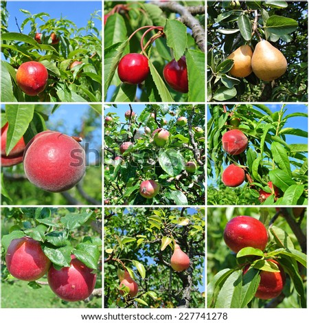 Fruit collage made of nine photos of different fruits (apples, nectarines, cherries, peaches and pears) on trees in an orchard. - stock photo