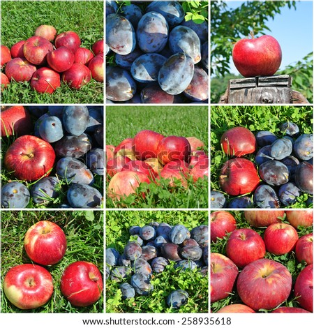 Fruit collage - ripe apples and plums in an orchard. Concept of organic farming; fresh, natural, unprocessed fruit; paleo diet. - stock photo