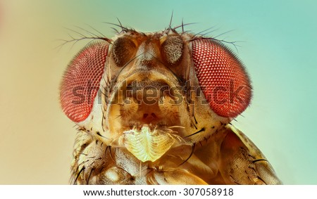 fruit fly - stock photo