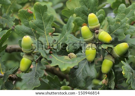 Fruit of an Oak tree - acorns - stock photo