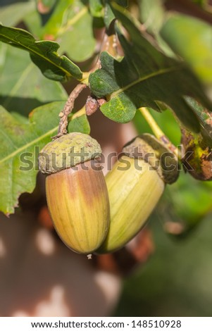Fruit of an Oak tree ripe in autumn, on a sunny day - stock photo