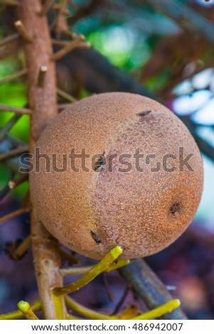Fruit of Cannonball Tree, Thailand