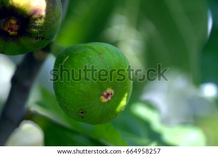 Fruit of fig tree -Ficus carica L.-  has becomein Nagasaki prefecture, JAPAN. It is in May.