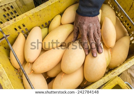 Fruit of Mango cultivars Nam Dok Mai See Thong - stock photo