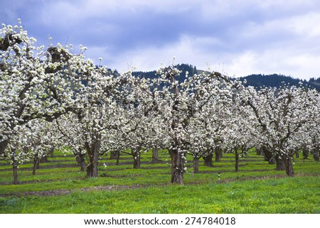 Fruit orchard in the spring of active profuse blooming trees that seemed dressed in a white dress of the bride. Trees planted in neat rows in Hood River fruit valley in Columbia Gorge area. - stock photo