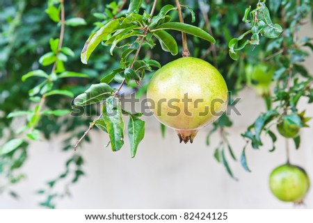 fruit,Pomegranate green on tree