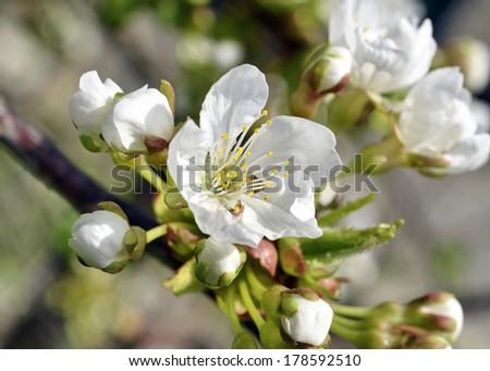 Fruit tree blossom close-up. Shallow depth of field  - stock photo