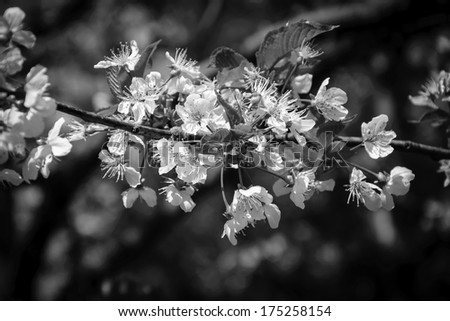 Fruit tree blossoms - spring beginning. Bokeh. Black and white. Aged photo. Shadowed angles.  - stock photo