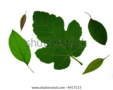 fruit tree leaves isolated on white
