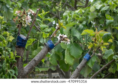 Fruit tree twigs grafted on tree stock photo 470995316 shutterstock - Graft plum tree tips ...